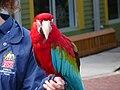 Ara chloropterus -Lowry Park Zoo, Tampa, Florida, USA -zookeeper-8a.jpg