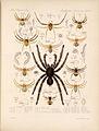 Arachnida Araneidea Vol 1 Table 11.jpg