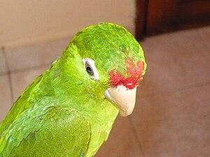 Finsch's parakeet - Image: Aratinga Finschi juvenil