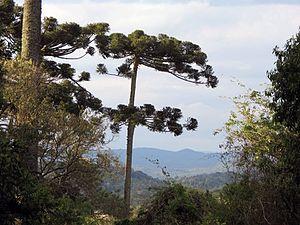 Araucárias National Park - Image: Araucária