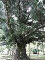Araucaria cunninghamii 02 by Line1.JPG