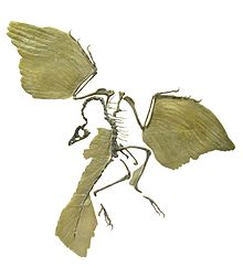 Archaeopteryx white background.jpg