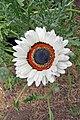 Arctotis fastuosa-IMG 6971.jpg
