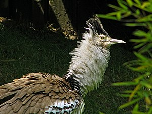 Kori bustard - A close-up of the plumage of a captive male