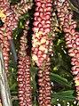 Arecales - Arenga undulatifolia - 10.jpg