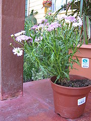 Argyranthemum frutesc 016