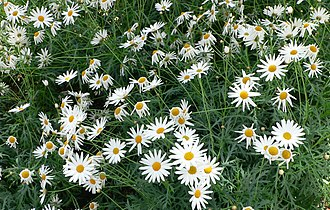 Argyranthemum - Image: Argyranthemum frutescens cv Vera 1