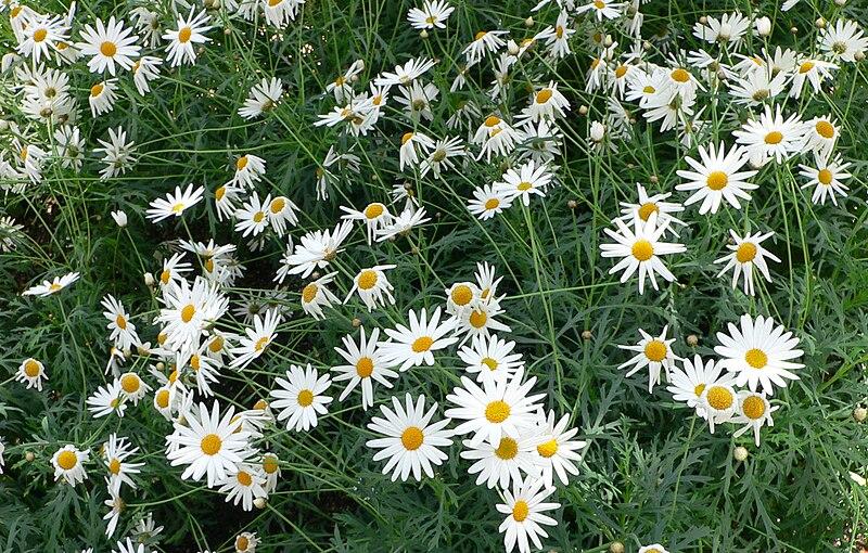 File:Argyranthemum frutescens cv Vera 1.jpg