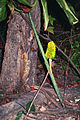 Arisaema dracontium 1117244.jpg
