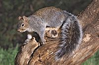 Arizona Gray Squirrel Sciurus arizonensis.jpg
