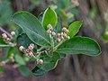 Aronia melanocarpa, Christchurch Botanic Gardens, Canterbury, New Zealand 10.jpg