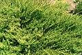 Artemisia lloydii 2.jpg