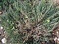 Arthrocnemum glaucum g1.jpg