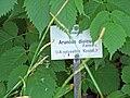Aruncus dioicus-ffm005e.jpg