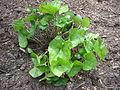 Asarum arifolium leaves.JPG