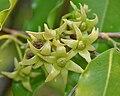 Ashoka (Polyalthia longifolia) flowers W IMG 7047.jpg