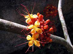 Asokaflower.jpg