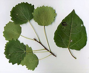 Populus tremula - Adult leaves (left); juvenile and sucker leaves (right)