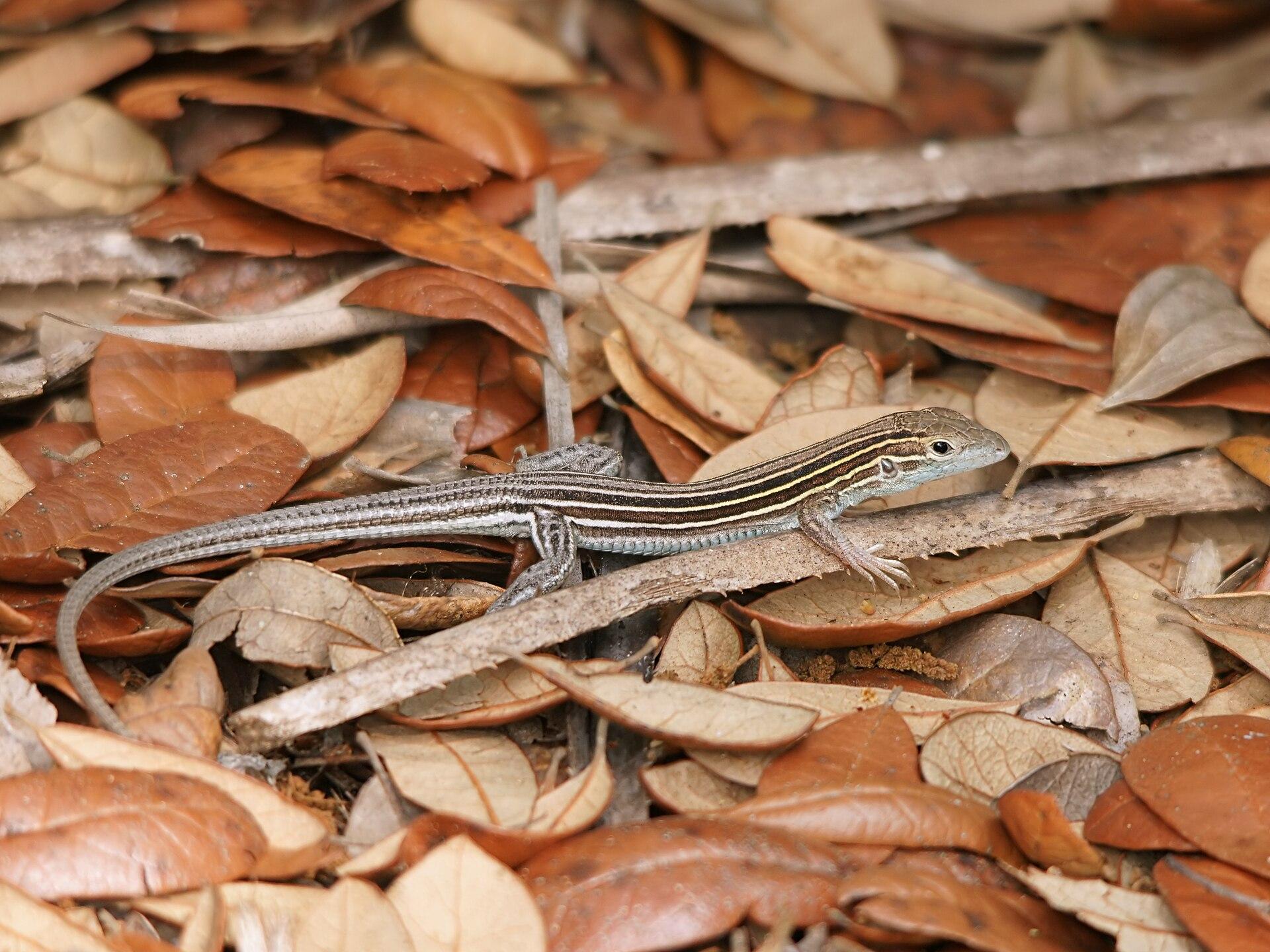 Six-Lined Racerunner (Aspidoscelis sexlineatus)