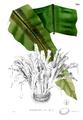 Asplenium nidus Blanco2.395.png
