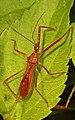 Assassin Bug - Ricolla species, Caves Branch Jungle Lodge, Belmopan, Belize.jpg