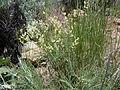 Astragalus filipes (5459327667).jpg