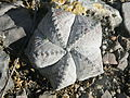 Astrophytum myriostigma (5699622913).jpg