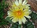 Astrophytum ornatum 002.JPG