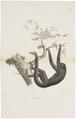 Ateles ater - 1818-1842 - Print - Iconographia Zoologica - Special Collections University of Amsterdam - UBA01 IZ20200109.tif