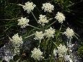 Athamanta cretensis - Alpen-Augenwurz.jpg