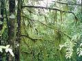 Atherosperma Tia River Mount Grundy.jpg