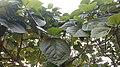 Athi leaf.jpg