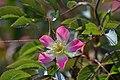 Atlas roslin pl Róża czerwonawa 5233 7785.jpg
