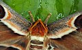 Attacus atlas with a wing gone 04.JPG
