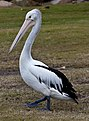 Aussie Pelicans are Black and White-3 (6078775913).jpg