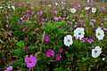 Autumn-flower-field-white-flowers - Virginia - ForestWander.jpg