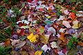 Autumn-leaves-fall-leaf-trail - West Virginia - ForestWander.jpg