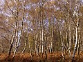 Autumnal silver birch on the edge of Matley Wood, New Forest - geograph.org.uk - 285752.jpg