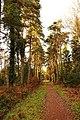 Avenue of pines, near Speech House, Forest of Dean - geograph.org.uk - 1053492.jpg