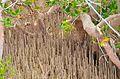Avicennia marina - Nabq by Hatem Moushir 10.JPG