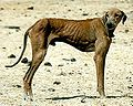Azawakh (Dog).jpg
