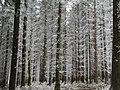 Bäume mit Raureif.JPG