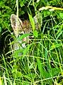 Baby Fox (50059600).jpeg