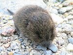Baby meadow vole.jpg