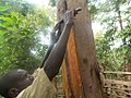 Back cloth preparation from a fig tree in Uganda 01.jpg