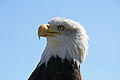 Bald Eagle Head (1224691901).jpg