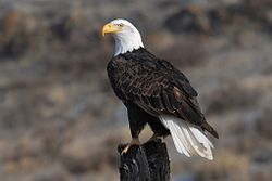 Bald eagle FWS.jpg