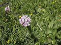 Baldriangewächs (?) - Sextener Dolomiten (9801425646).jpg