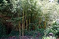 Bamboo in Nuthurst village, West Sussex England 2.jpg