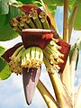 Banane plantain (Inflorescence).jpg